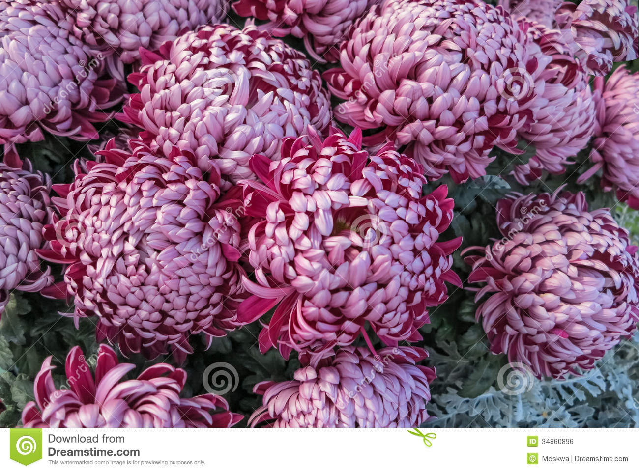 Purple Pompon Chrysanthemums Royalty Free Stock Image.