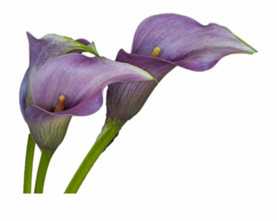 Next Open Some Calla Lilies.
