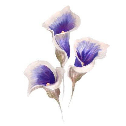 Watercolor Calla Lily Clipart Image.