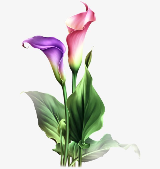 Calla Lily Flowers in 2019.