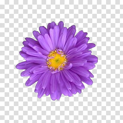 Flowers World, purple daisy transparent background PNG.