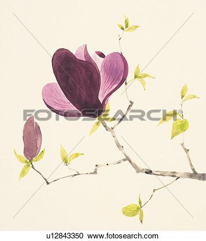 Stock Illustrations of Purple magnolia branch with bud u12843350.