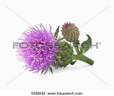 Stock Photo of A blossoming purple flower and bud on a stem.