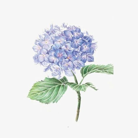 Hydrangea, Purple, Flower PNG Transparent Clipart Image and.