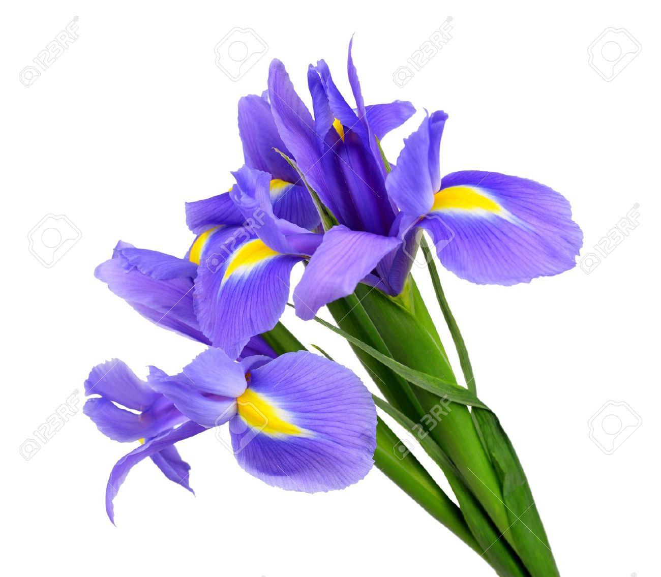 iris flower clipart #51.