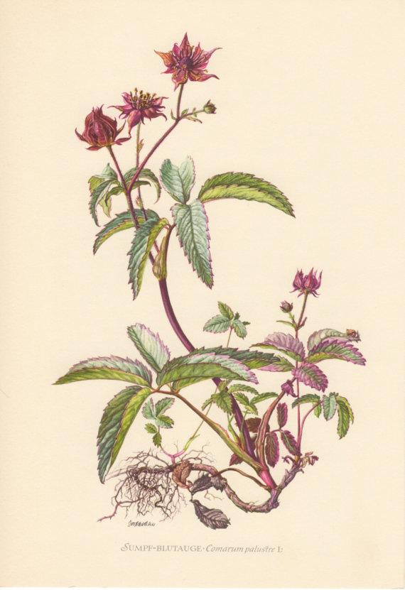 1955 Purple Marshlocks, Antique Botanical Print, Vintage.