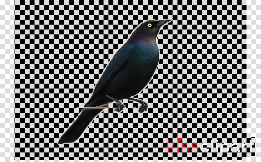 bird beak perching bird songbird purple martin clipart.