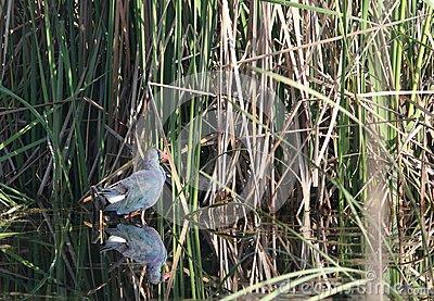 Purple Moorhen Bird Portrait Photos Stock Photo.