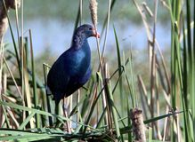 Purple Moorhen (water.