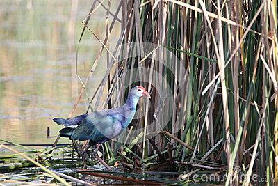 Purple Moorhen (water.
