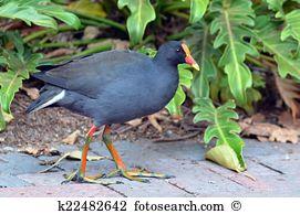 Purple moorhen Stock Photos and Images. 23 purple moorhen pictures.