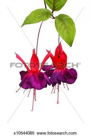 Stock Image of Two purple and pink fuchsia 'Dark Eyes' flowers.