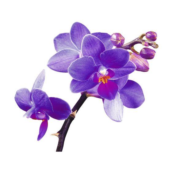 Purple orchid love clipart.