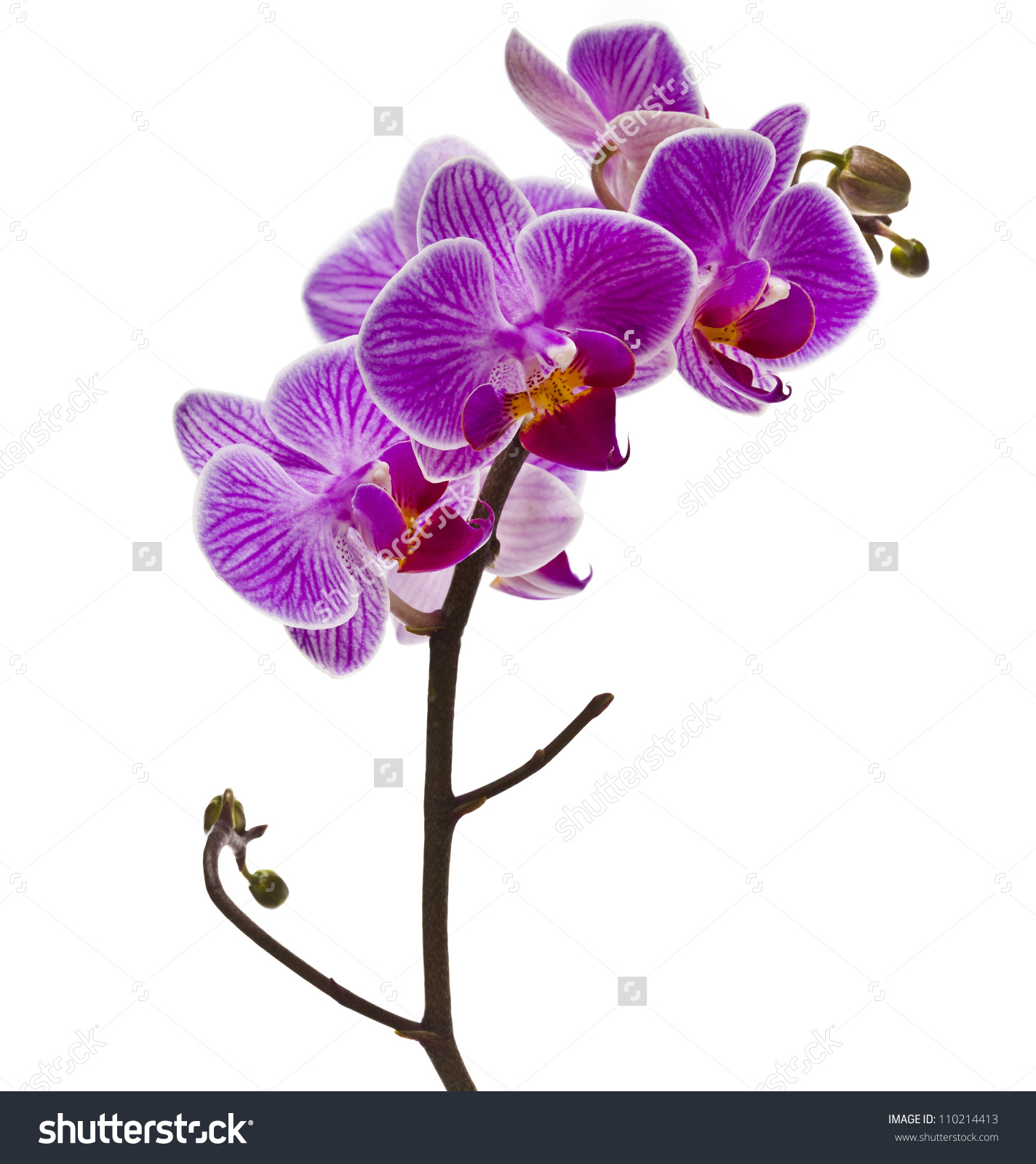 habrumalas: Purple Orchid Clipart Images.