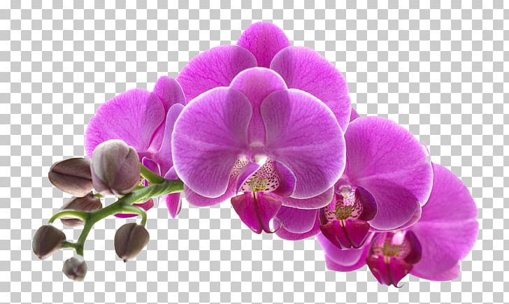 Orchids Flower Purple PNG, Clipart, Beautiful, Beautiful.