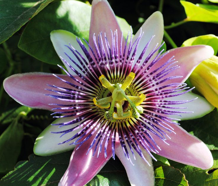 1000+ images about Passion fruit flower on Pinterest.