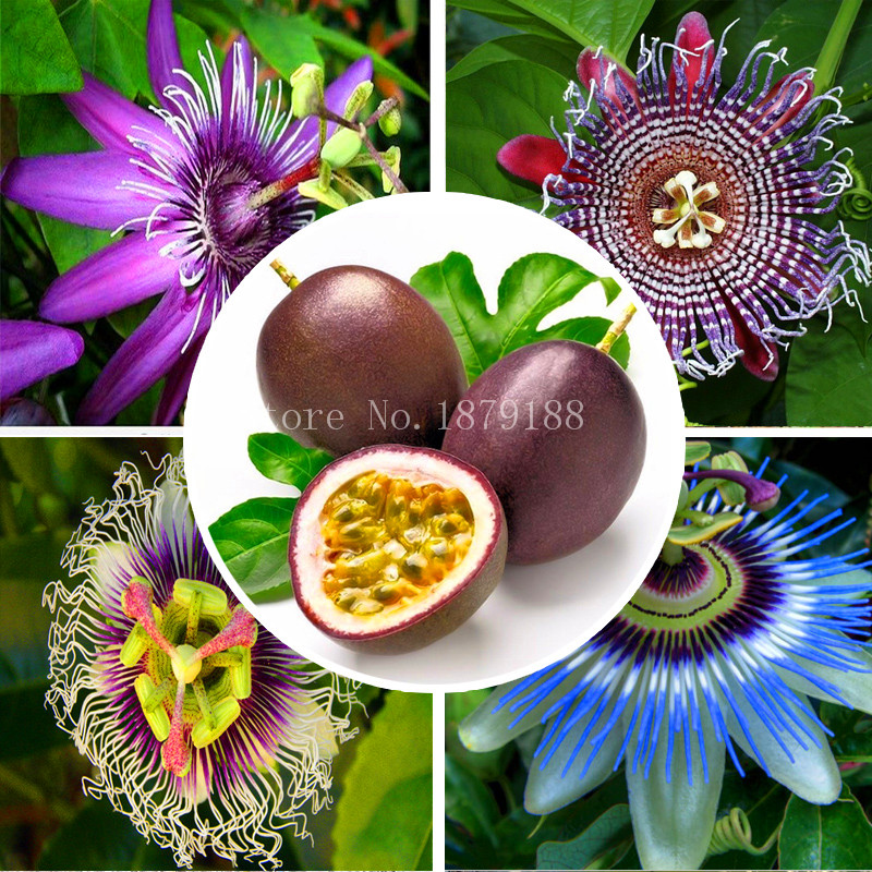 Popular Passion Fruit Plant.