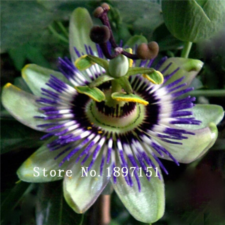 Popular Passion Flower Fruit.