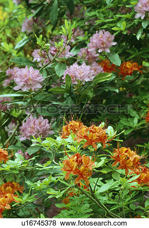 Pictures of Close up of orange azelea with purple rhododendron.