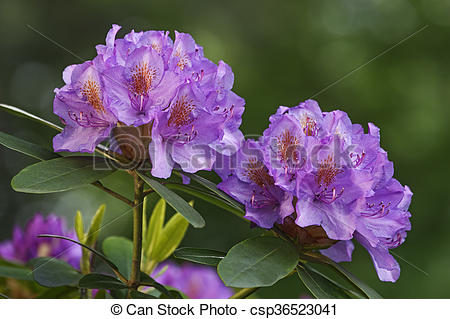 Stock Photo of Catawba rosebay flowers.