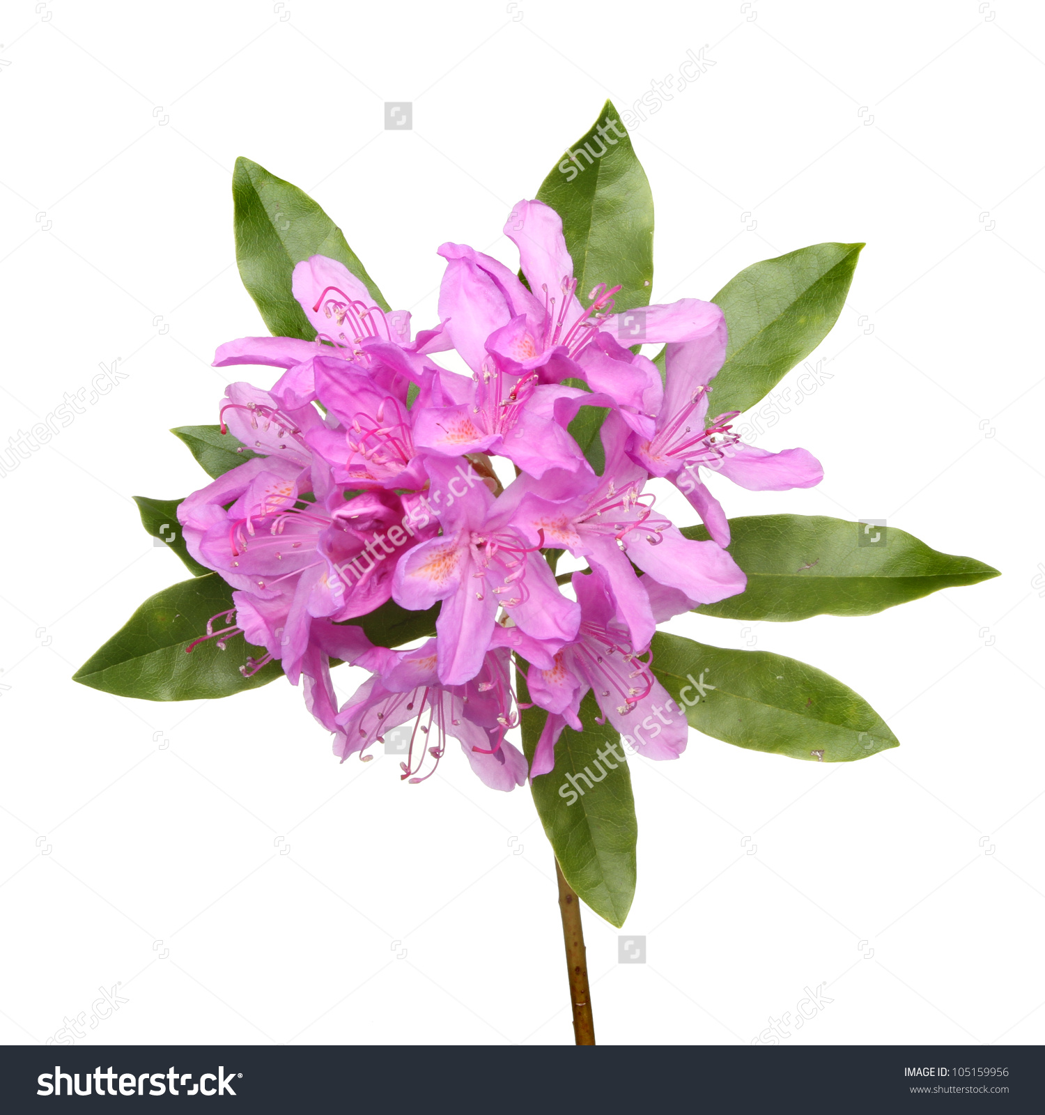 Rhododendron Ponticum Purple Flowers Leaves Isolated Stock Photo.