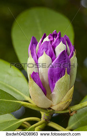 Stock Photo of Purple flower of a rhododendron (Rhododendron.