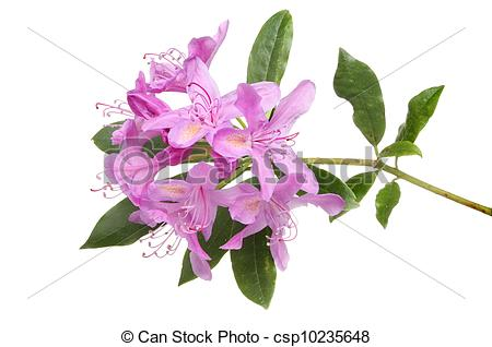 Stock Photo of Rhododendron ponticum flower and leaves isolated.