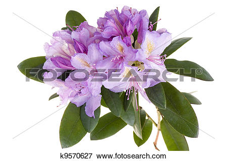 Picture of Pink rhododendron, azalea k9570627.