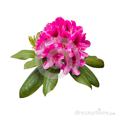 Rhododendron Ponticum Flowers Stock Images.