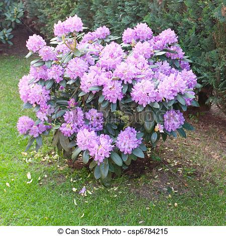 Rhododendron Stock Photo Images. 5,098 Rhododendron royalty free.