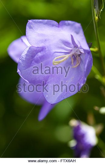 Purple Trumpet Stock Photos & Purple Trumpet Stock Images.