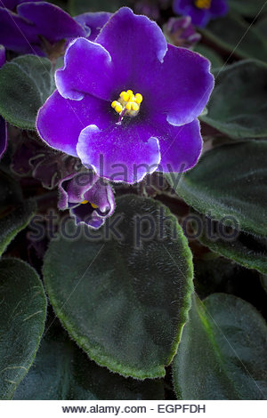 Purple African Violet Flowers In Stock Photos & Purple African.
