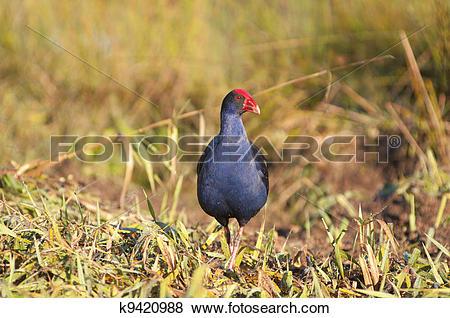 Pictures of purple swamp hen k9420988.