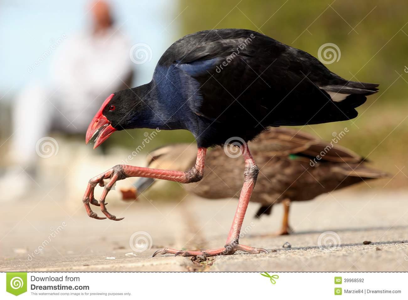 Purple Swamp Hen (Australia) Stock Photo.