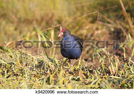 Stock Images of Purple swamp Hen k9420996.