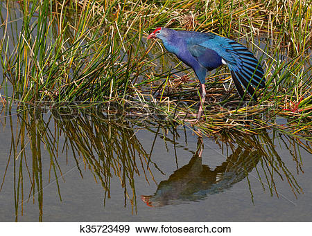 Stock Photograph of Purple Swamphen.