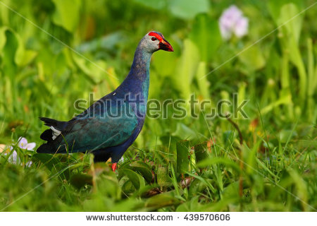 Purple Swamphen Porphyrio Porphyrio Nature Green Stock Photo.