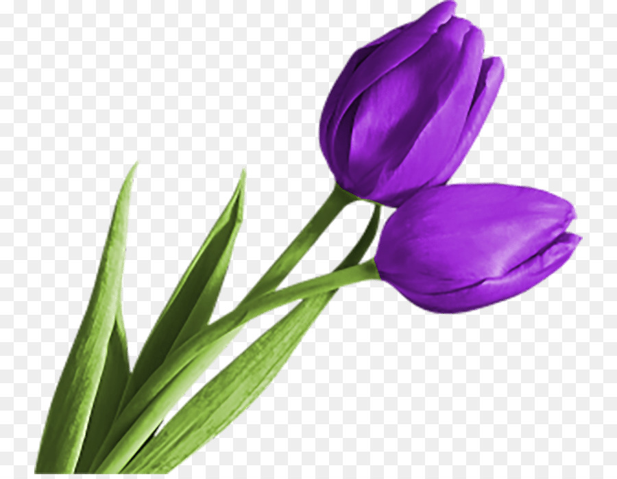 Purple Tulips Flowers png download.