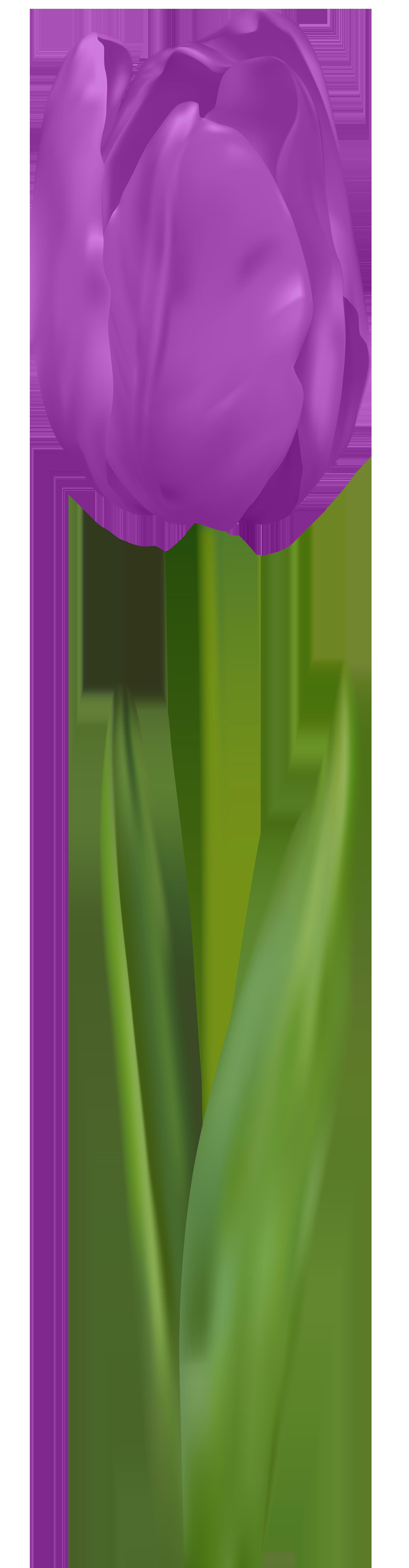 Purple Tulip PNG Clip Art Image.