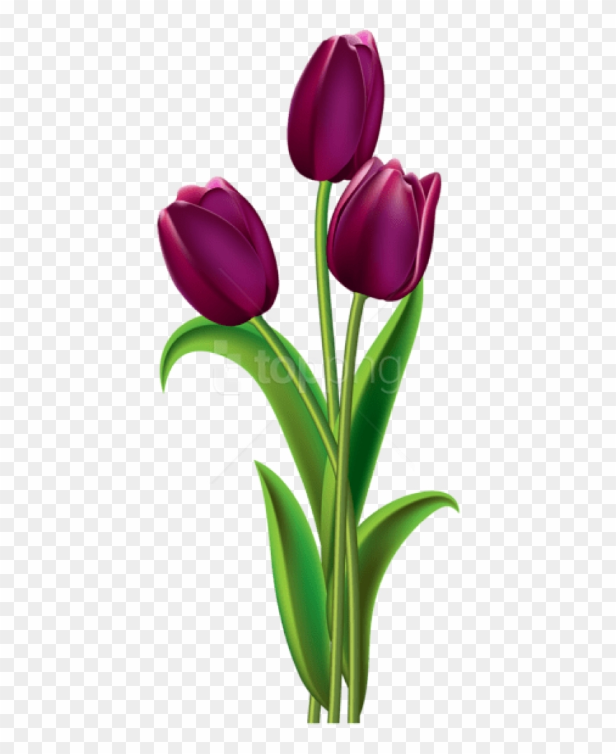 Free Png Download Tulips Transparentpicture Png Images.