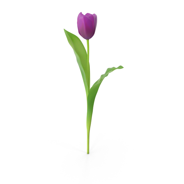 Tulip PNG Images & PSDs for Download.