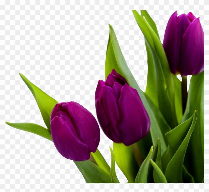 Tulip Png Image.