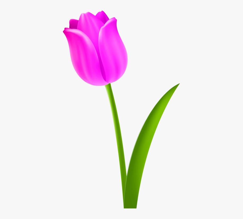 Tulip Flower Petal Purple.
