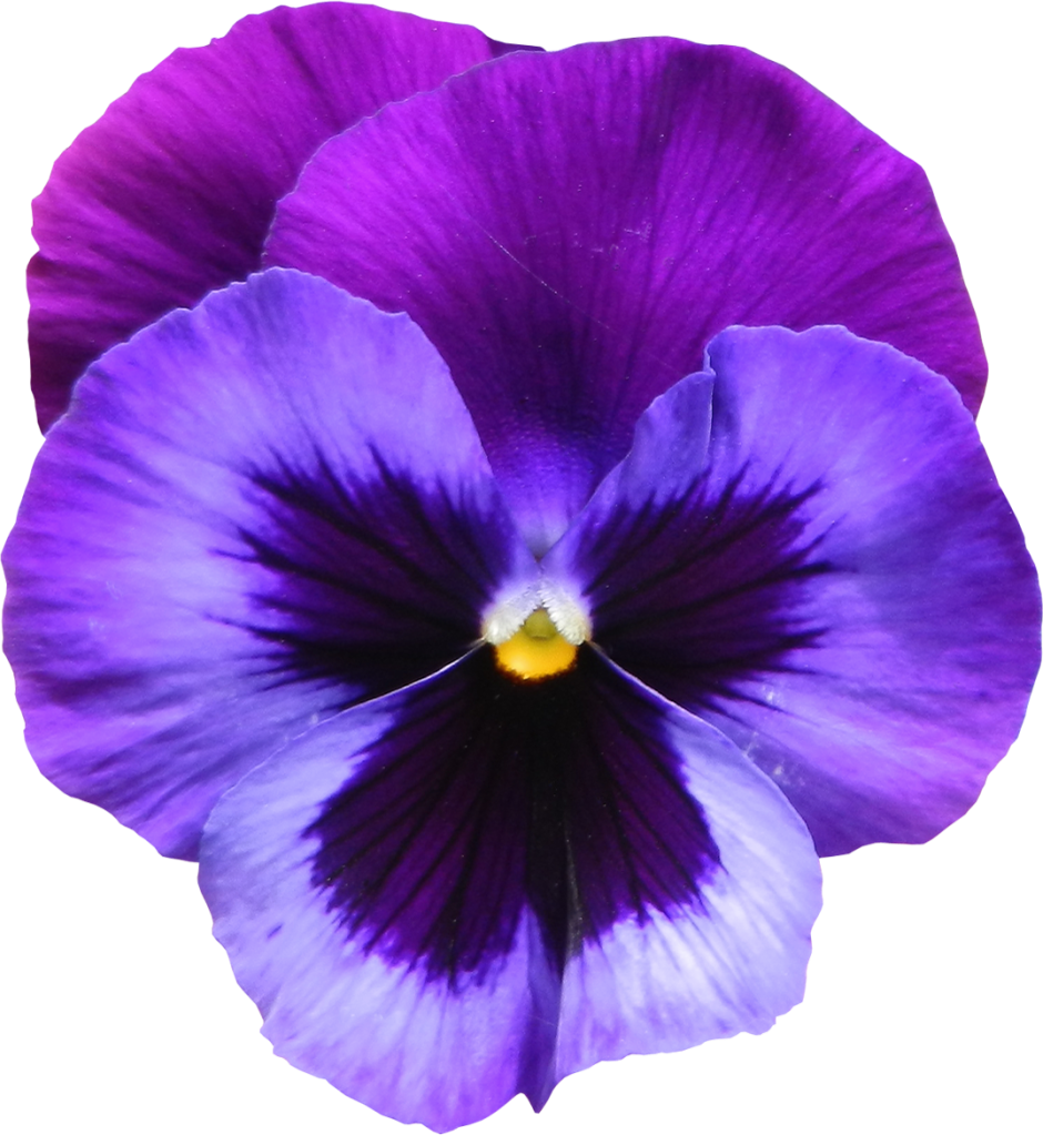 Large Transparent Purple Violet Flower PNG Clipart.