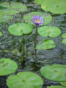 Clipart Stock Photo: Purple Lotus in a Lily Pond.