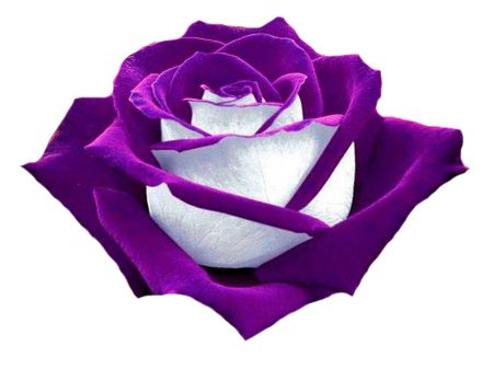 PURPLE AND WHITE ROSE.