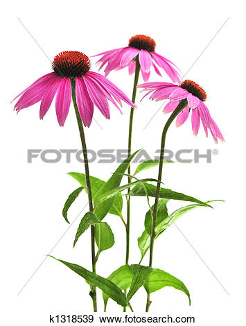 Stock Photograph of Echinacea purpurea plant k1318539.