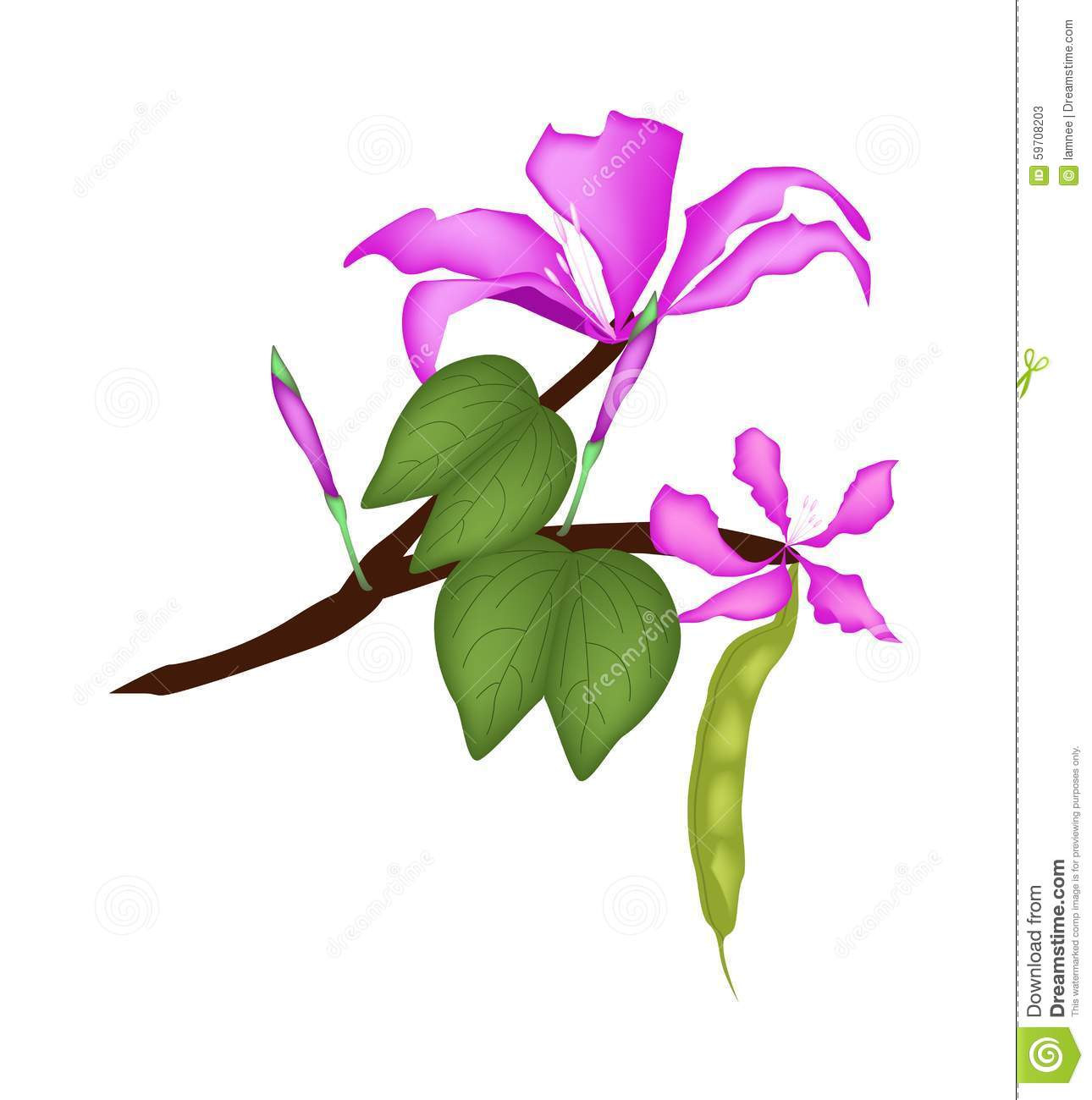 Purpurea Stock Illustrations.