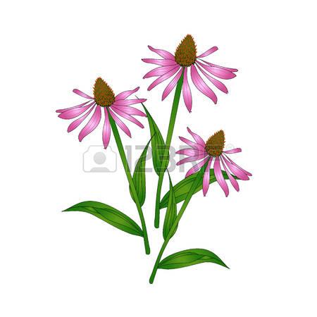 56 Echinacea Purpurea Stock Vector Illustration And Royalty Free.