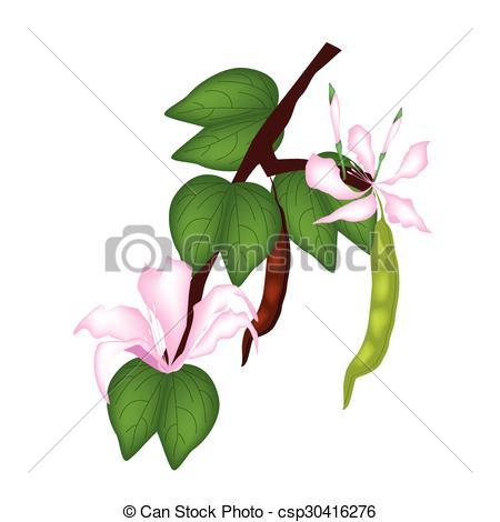 Vectors Illustration of Pink Bauhinia Purpurea or Orchid Tree on.